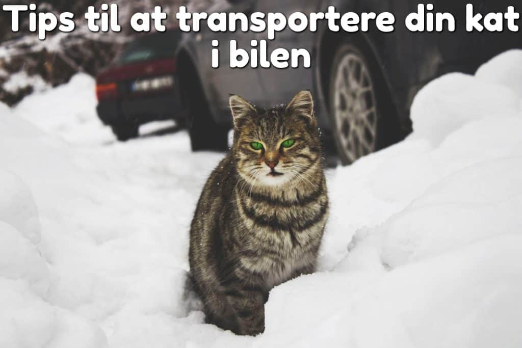 Tips til at transportere din kat i bilen