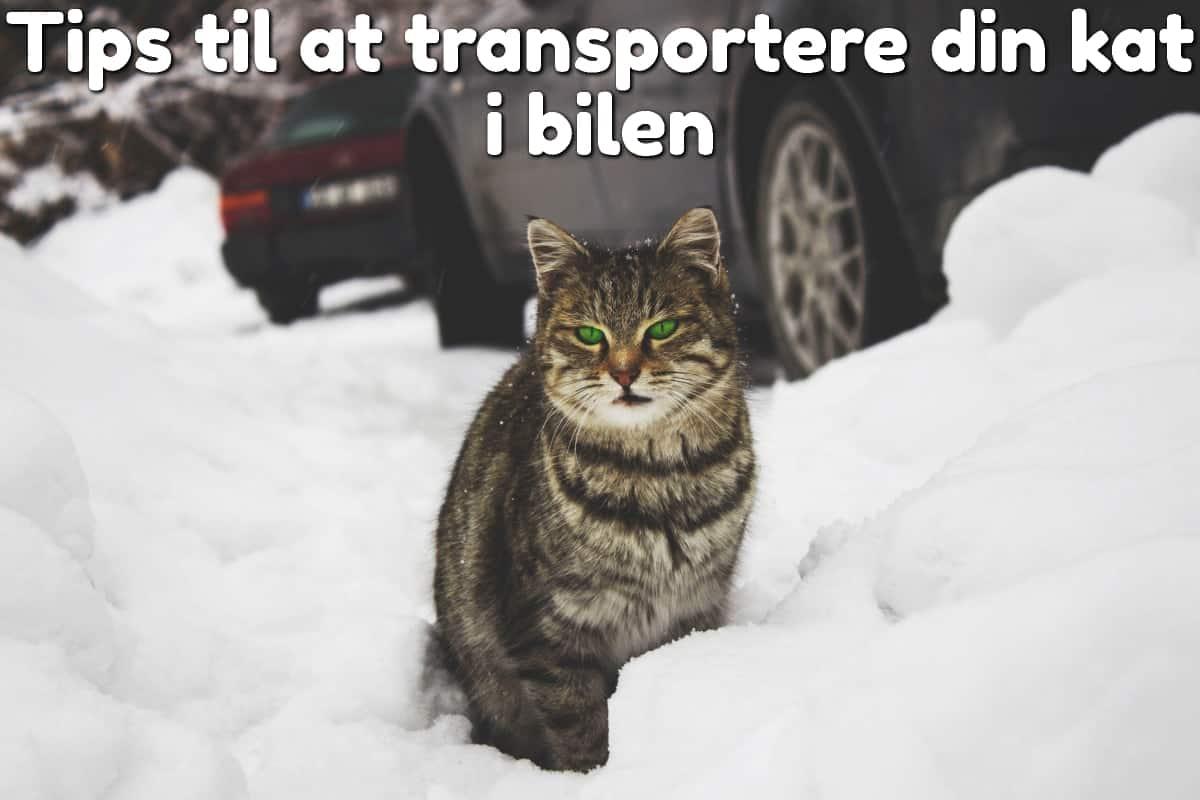 Tips til at transportere din kat i bilen